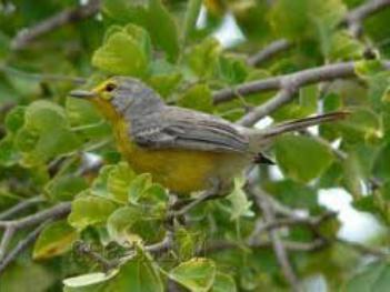 barbuda-warbler-01