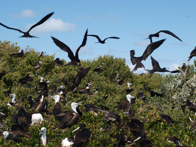 frigate birds group