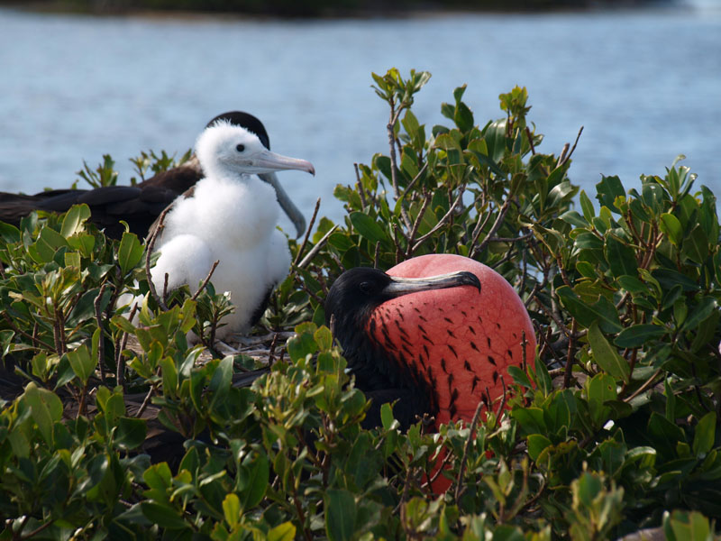 frigate birds male and chick