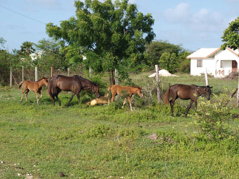 horses in village