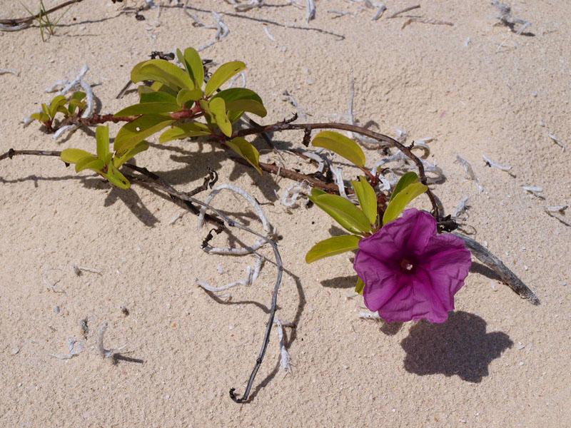 A beach flower