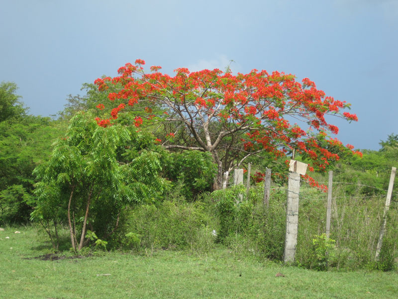 A Flamboyant tree