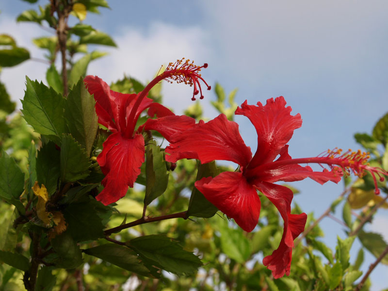 A Hibiscus